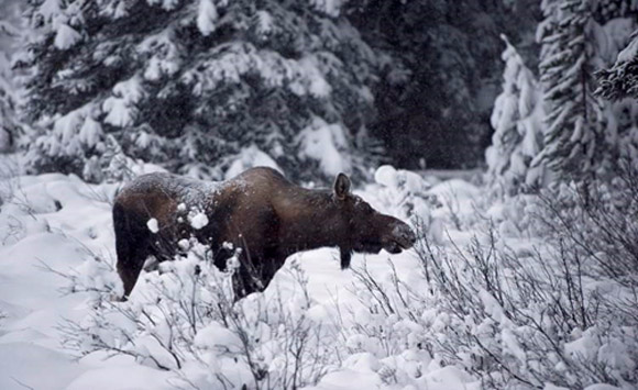 A moose in the snowy woods - looks like 'our' moose!